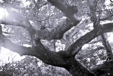 The Guardian Tree - Ometepe, Nicaragua, 2008